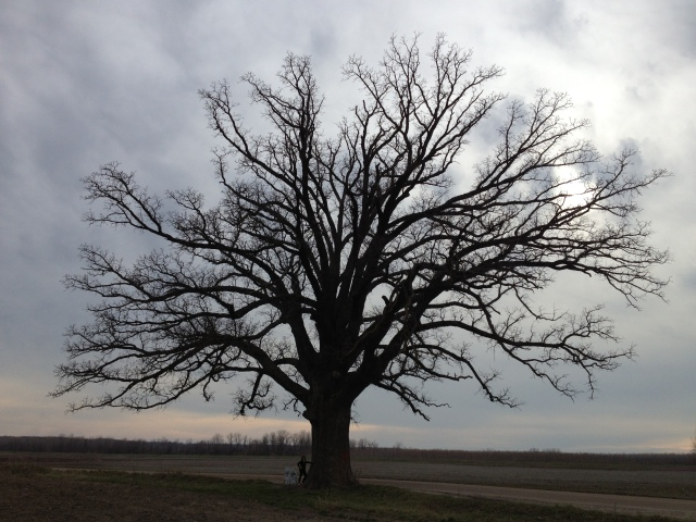 The big bur oak tree outside CoMo